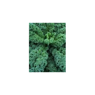 100 Dwarf Blue Scotch Kale Seeds : Kale Plants : Garden & Outdoor