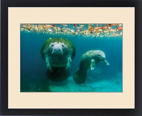 Framed Print of Mother manatee with her calf in Crystal River, Florida by Fine Art Storehouse