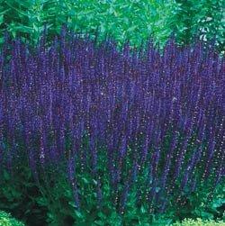 (Meadow Sage Blue Queen - Salvia - Quart Pot#hgs1245)
