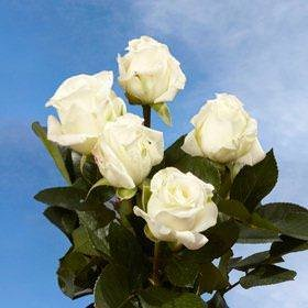 GlobalRose 72 Light Cream Special Roses - Fresh Flowers for Delivery - Perfect for Birthdays, Anniversary or any occasion.