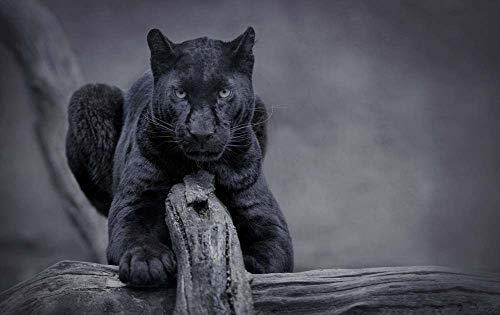 KaoHun Black Panther Wildlife Front View - Animal Picture Art Canvas Print Poster,Home Wall Decor 24x16 inches