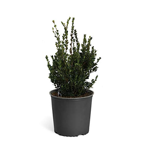 Shaped Trim Floral Oval - Wintergreen Boxwoods in 3 Gallon Pots