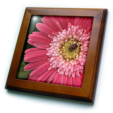3dRose Stamp City - Nature - Photograph of a Pink Gerbera Daisy with a Pink Spotted Lady Beetle. - 8x8 Framed Tile (ft_316751_1)