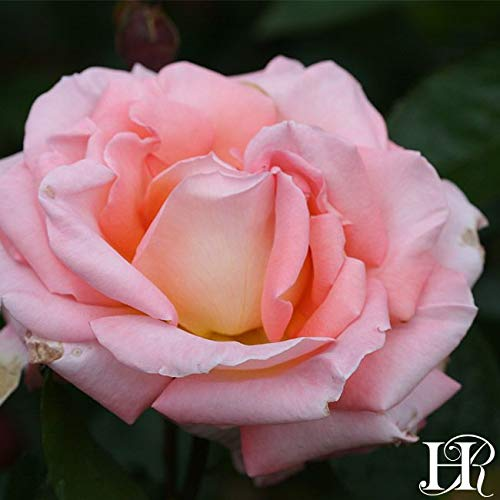 Own-Root One Gallon Paul Shirville Hybrid Tea Rose by Heirloom Roses