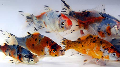 Toledo Goldfish Live Shubunkin Goldfish for Aquarium, Tank, or Garden Pond - Live Shubunkin Goldfish - Born and Raised in The USA - Live Arrival Guarantee (4 to 5 inches, 50) from Toledo Goldfish