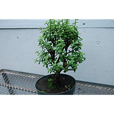 Baby Jade Pre Bonsai: Garden & Outdoor