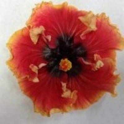 AchmadAnam - Live PlantCHEEKY Maiden Rooted Tropical Exotic Hibiscus PlantShips in Pot : Garden & Outdoor