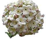 "Viburnum carlesii 'Korean Spice' - 2.5"" Healthy Potted Plant - 6"" - 12"" Flowering Shrub - 3 Pack by Growers Solution"