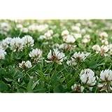 Wild White clover seed MeadowMania 100 grams net