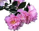 Pink Snow Camellia Sasanqua - Live Plant - Full Gallon Pot