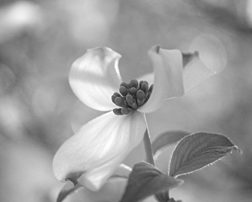 Dogwood flower wall art black and white photography modern flower art print floral