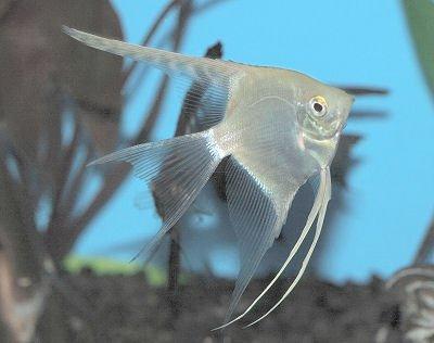 Tropical Angel Fish - 8