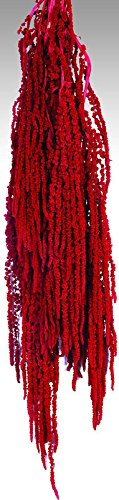 Hanging Amaranthus Preserved - Dried 18-24in. long, Appro...