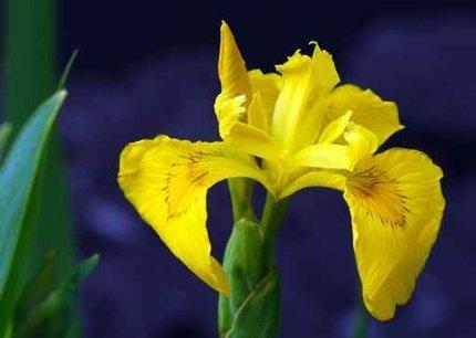 Sumpfschwertlilie gelb (Iris pseudacorus) - Teichplanzen Teichpflanze Teich
