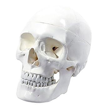 Wellden Medical Anatomical Human Skull Model Classic 3 Part Life Size