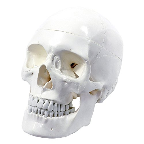 (Wellden Medical Anatomical Human Skull Model, Classic, 3-part, Life)