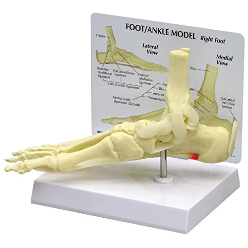 Foot and Ankle Bone Joint Anatomical Model ()