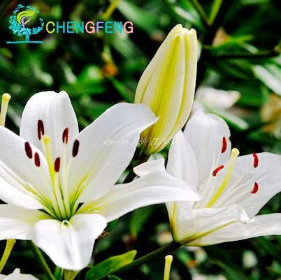 MAYAGREEN 50pcs Special Blue Heart Lily Plant Plants Potted Bonsai Plant Lily Flower Plants for Home Garden Purify Indoor Air Mixing Color Yellow(Seeds Only)