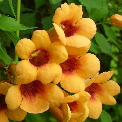 YELLOW TRUMPET VINE - Campsis radicans 'Judy' - AN EXTREMELY FLORIFEROUS SELECTION - 1 Year Plant : Garden & Outdoor