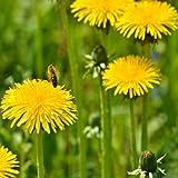 Outsidepride Dandelion - 5000 Seeds