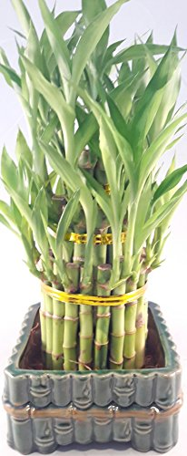 Lucky Bamboo - tower in Decorative Pot unique from Jmbamboo by JM BAMBOO