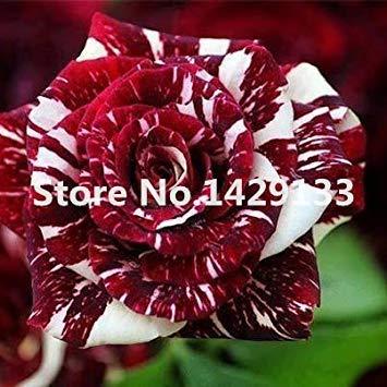 Bush rosen rosen exotische blumen regenbogen strauch Streifen Seltener samen Lady rote Garten Anlage Yello 200pcs Rosa bonsais samen Purpurrote Fash xvUp8t