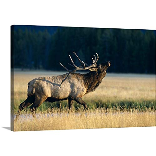 GREATBIGCANVAS Gallery-Wrapped Canvas Entitled Wyoming, Yellowstone National Park, Elk Bull (Cervus Elaphus) Bugling in Rut by John Hyde 24