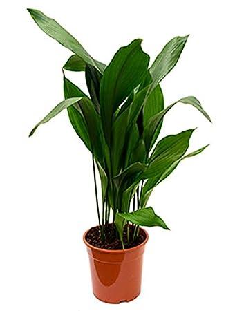 Grünpflanze Wenig Licht schusterpalme 90 110 cm im 24 cm topf unempfindliche zimmerpflanze