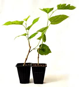 Dwarf mulberry tree 2 pack great fruit stay for Trees that stay small