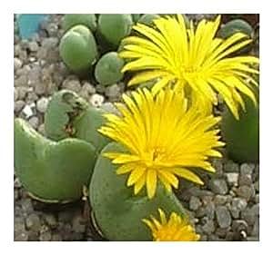Conophytum meyerae - syn: Ophthalmophyllum meyerae - 10 seeds