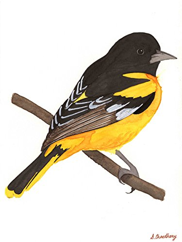 Baltimore oriole (Limited Edition on Fine Art Paper - 16x21 ()