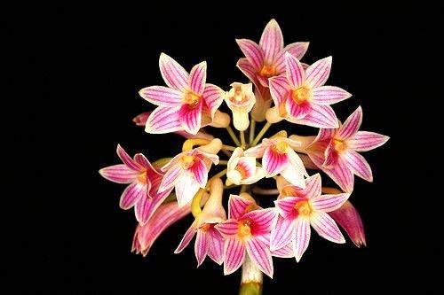 - Dendrobium usitae Red Coral, Orchid Species
