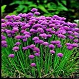 Just Seed Herb - Chives - Allium schoenoprasum - Organic Seed - Pictorial Packet Suffolk Herbs - 250 seeds