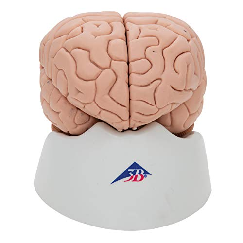 3B Scientific 8 Part Brain Model, 5.5