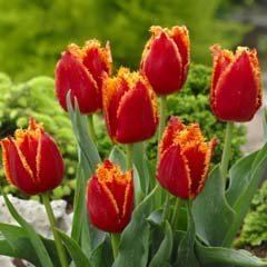 10 Quality Tulip Bulbs - Fabio (Red & Yellow) - Freshly Imported from Holland by THREETREE