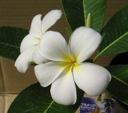 プルメリア オブツサ シンガポールホワイト(苗)