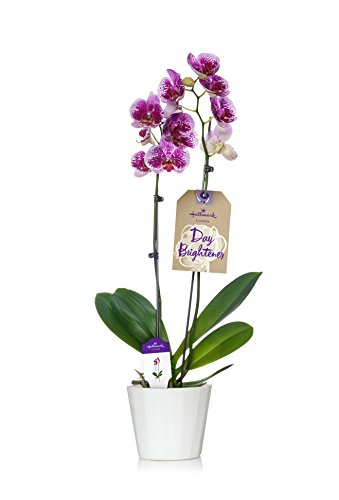 Orchid Spike (Hallmark Flowers Double Spike Pink Speckled Orchid in 5-Inch White Wood Container)