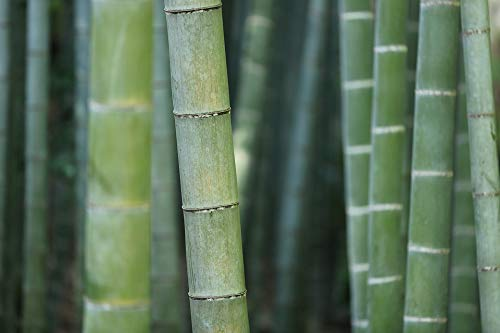 (Home Comforts Canvas Print Trunks Bamboo Forest Macro Plant Vegetation Grass Vivid Imagery Stretched Canvas 32 x 24)