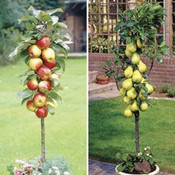 Apple Tree And Pear Tree From Jersey Plants Direct   2 Patio Fruit Trees