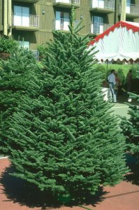 15 Tree Seeds Noble Fir (Abies Procera) Great Christmas Tree by Seeds and Things