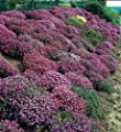 400 RAINBOW ROCKCRESS Rock Cress Large Flowered Aubrieta Cultorum Flower Seeds