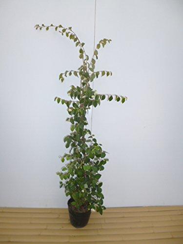 【ノーブランド品】トキワマンサク(青葉白花)樹高1.0m前後18cmポット【5本セット】 B00W4VWBCI