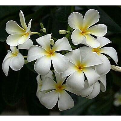 "AchmadAnam - Bareroot 8-10"" Cutting - Exotic Singapore White Plumeria Plant - Frangipani : Garden & Outdoor"