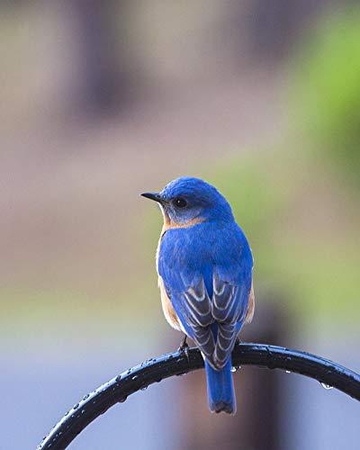 Home Comforts Framed Art for Your Wall Bird Animal Bluebird Nature Blue Bluebird On Perch Vivid Imagery 10 x 13 Frame