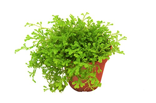 Spike Moss (Selaginella) in Pot - Live Plant - FREE Care Guide - 4
