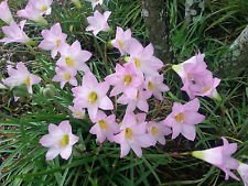Pink Rain Lily (Habranthus robustus) Brazilian Copper Lily Fairy Lily 20 Viable