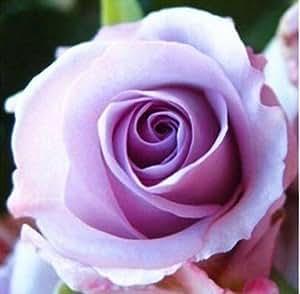 200pcs rojo Semilla Rose Profesional Plántula floer / Vary Colores jardín Selección de floricultura Semillas de los bonsai 12