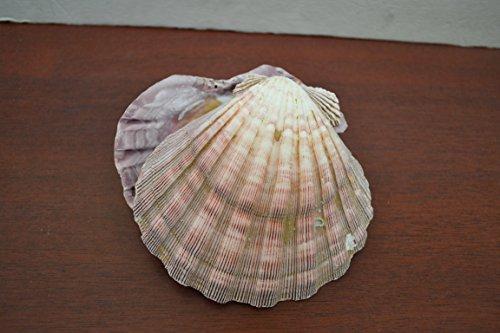 2 Pcs Purple Lion Paw Clam Dish Scallop Beach Sea Shell Pair 5 - 5 1/2