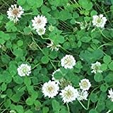 Just Seed - Wild Flower - Wild White Clover - Trisodium repens - 1500 Seeds