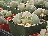 Pleiospilos Neli Succulent Plant